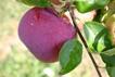 nyári alma